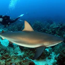 tauchshop-linz-nondubitare-sharkdiving